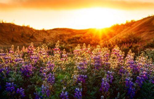 Sunset Flower Field Landscape Flowers Fields Mountain Sun Wallpaper Gallery